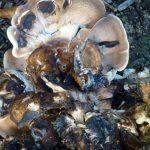 champignons (31) redimentionné