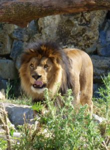 lionbv