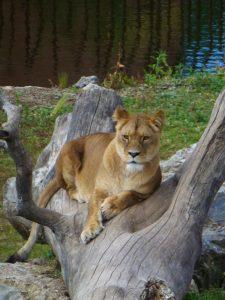 lionnea