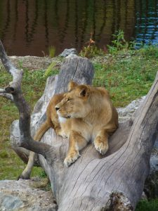 lionneb