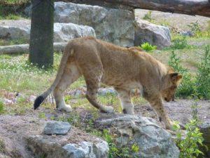 lionnec