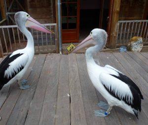 pelicana