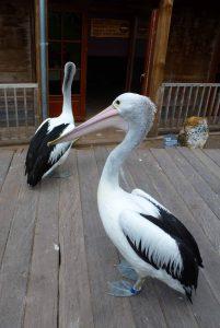 pelicanc