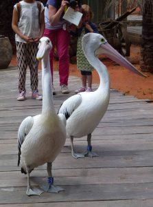 pelicand