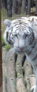 tigreblanca